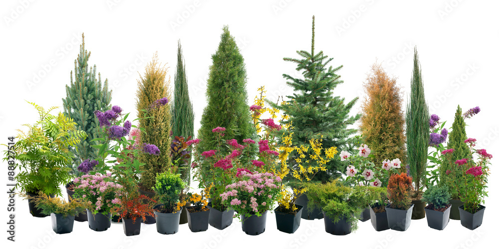 Fototapety, obrazy: Shrubs in containers