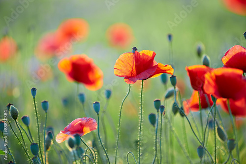 Foto op Plexiglas Panoramafoto s Close up of poppy flower