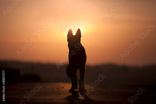 Fényképezés Dog backlight silhouette in sunset