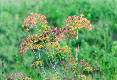 Valokuva  Stems and umbel inflorescence of dill on blurred background