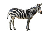 Fototapeta Animals - Zebra