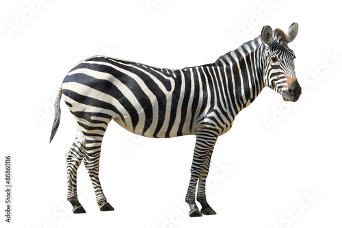 Photo sur Aluminium Zebra Zebra
