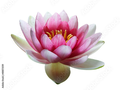Wall Murals Water lilies Pink Lotus Flower isolated on white