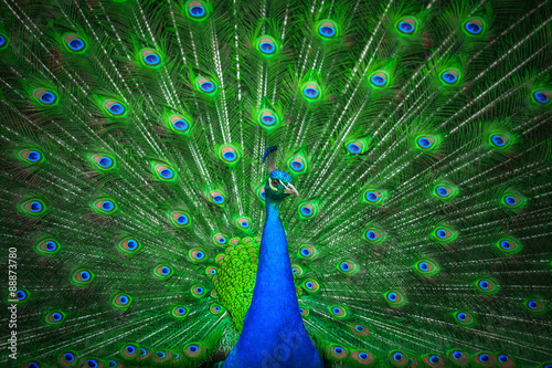 Stickers pour porte Paon Portrait of beautiful peacock