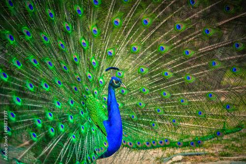 Foto op Plexiglas Pauw Portrait of beautiful peacock