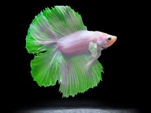Siam Fighting Fish On Black, B...