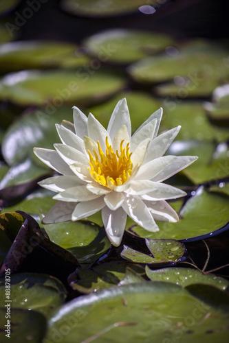 Foto op Canvas Lotusbloem Water lily, lotus flowers in pond