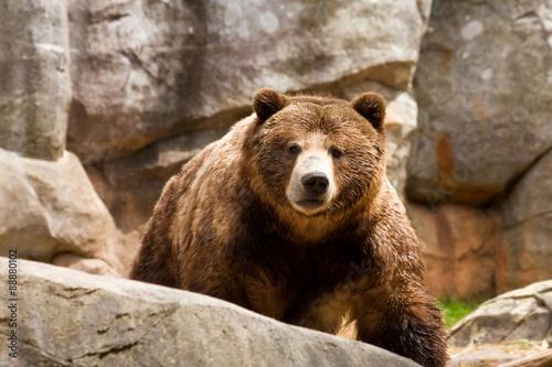 Fotografie, Tablou  Grizzly Bear