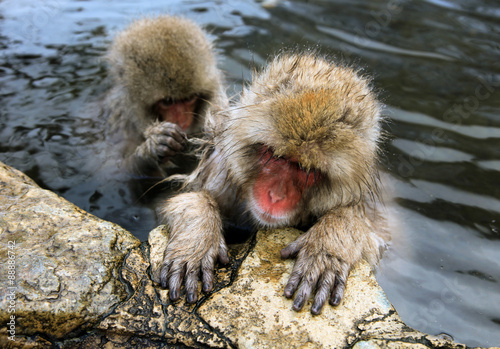 Fotografie, Obraz  Cute and funny Japanese macaque, snow monkeys, Nagano prefecture,Japan
