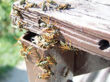 Hornet Nest And Hornets