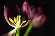 Tulipan środek przybliżenie