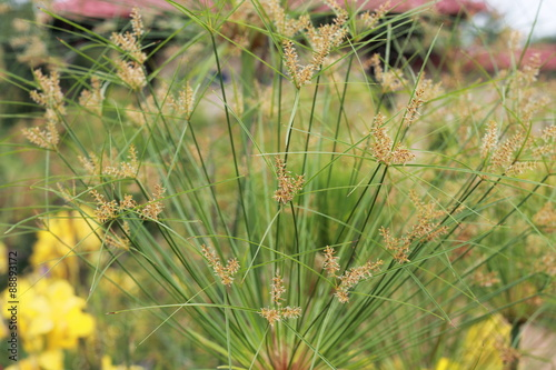 Tall decorative grass with yellow flowers in background buy this tall decorative grass with yellow flowers in background mightylinksfo