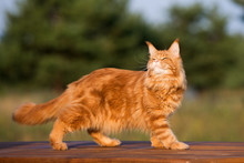 Red Maine Coon Cat Posing Outdoors