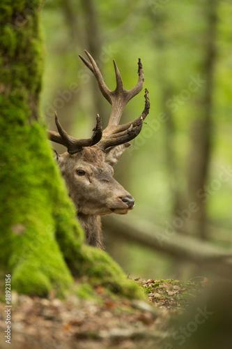 głowa pnia jelenia