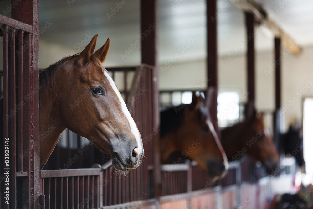Fototapety, obrazy: Horses in the stable