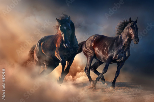 Two black stallion run at sunset in desert dust плакат