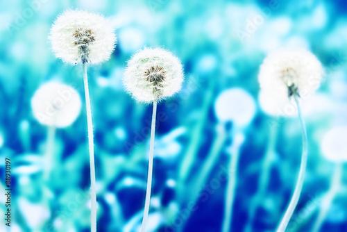 Fototapety, obrazy: White dandelions on the lawn, blue