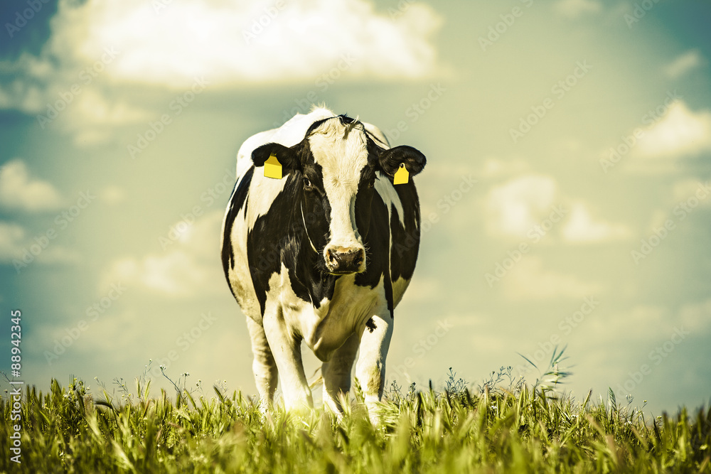 Fototapeta Dairy cow at countryside, beautiful sky in the background. Vintage style.