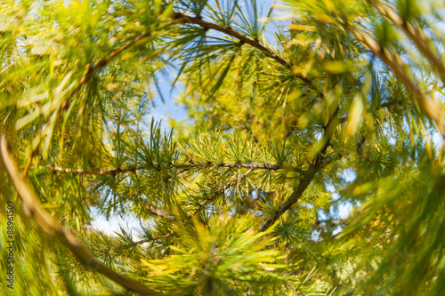 Foto op Aluminium Pistache Pine tree close-up of needles and branches