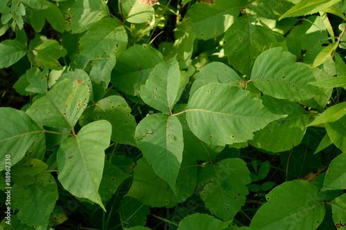 Fotografie, Obraz  Břečťan jedu (Toxicodendron radicans) Rostliny v létě
