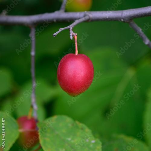 American Plum (Prunus americana)