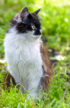 Pretty Cat Or Kitten With White And Brown Hair, Sitting In Grass