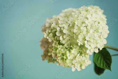 White hydrangea flowers on blue vintage backdrop, beautiful floral background, copy space for you text