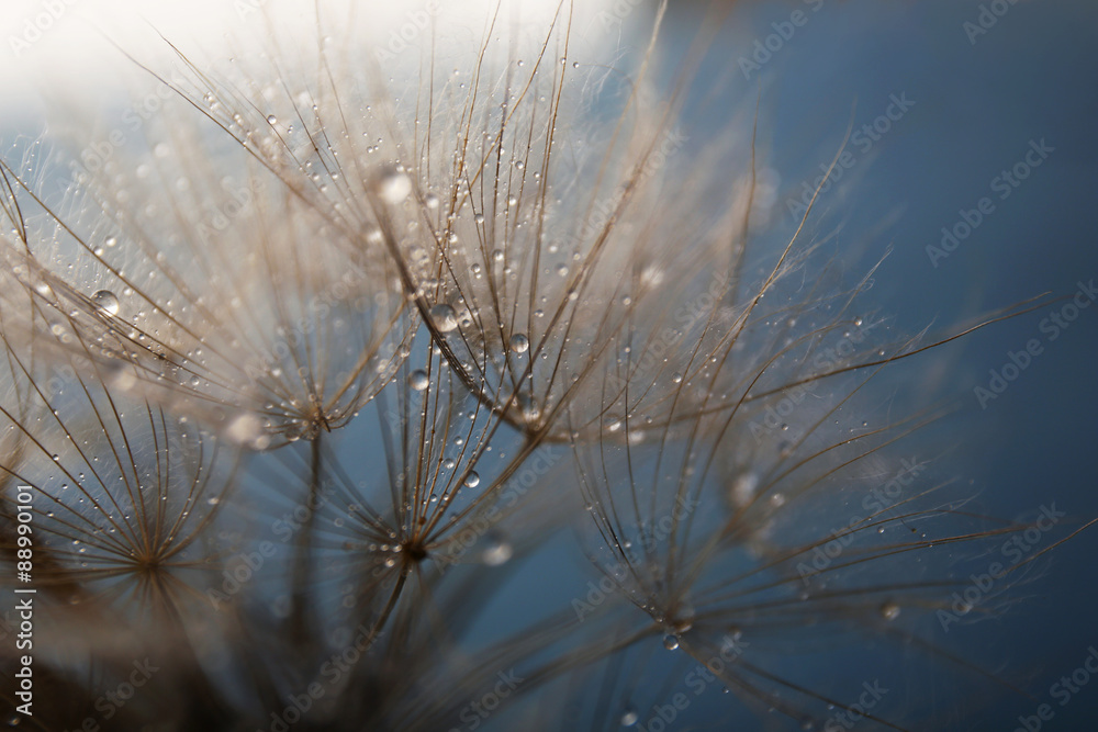 Fototapety, obrazy: Beautiful dandelion with water drops on gray background