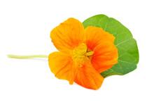 Nasturtium Orange Flower
