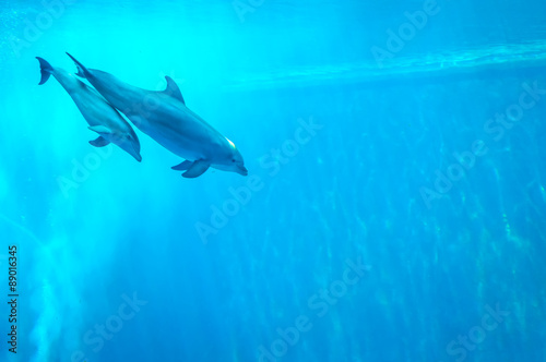 Fototapeta Mother and child dolphin swimming in an aquarium pool