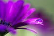 Leinwandbild Motiv Purple flower and droplet