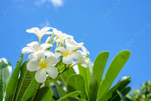 Photo sur Aluminium Frangipanni White plumeria with blue sky background