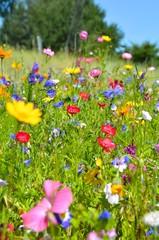 Panel SzklanyBlumenwiese - bunte Sommerblumen