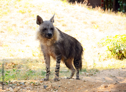 Poster Hyène Brown hyena.