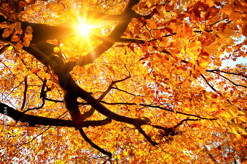 Fototapety, obrazy: Sun shining in the golden autumn