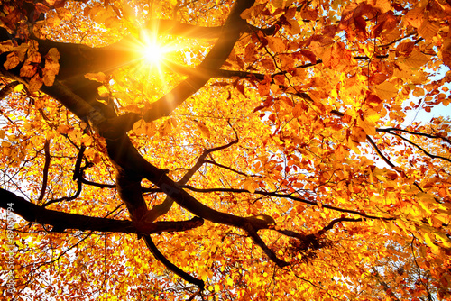 Obraz Sun shining in the golden autumn - fototapety do salonu
