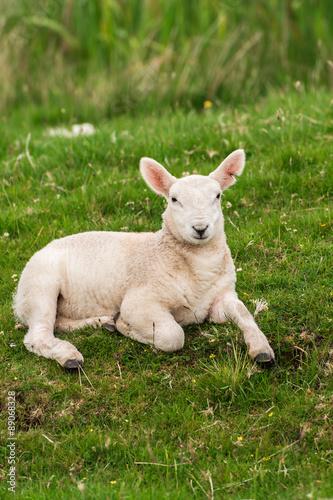 Lamb in the grasslands, Scotland Poster