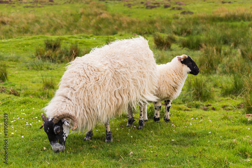 Fotografija  Sheep and lambs in the grasslands, Scotland