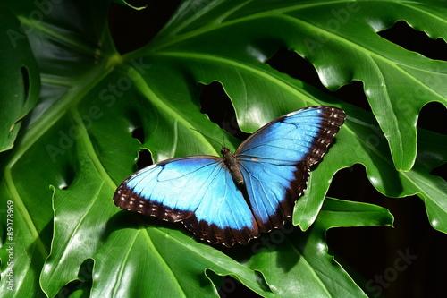 Obraz na plátne A pretty blue morpho butterfly lands in the butterfly gardens.