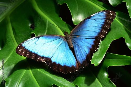 Papiers peints Papillon A pretty blue morpho butterfly lands in the butterfly gardens.