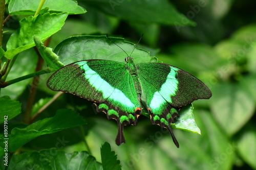 An Emerald Swallowtail butterfly lands in the gardens. - 89079142