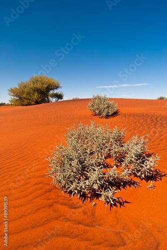 Foto op Canvas Australië Plants growing on a red sand dune beneath a clear blue sky, taken near Uluru in central Australia