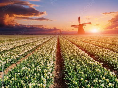 Photo White plantation of tulips at sunset. Holland.