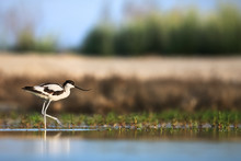 Pied Avocet (Recurvirostra Avosetta) Creeping Up In Search Of Food