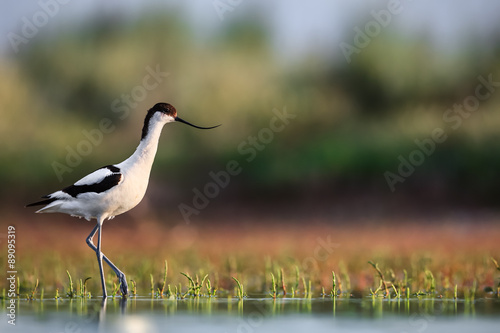 Valokuva  Pied avocet (Recurvirostra avosetta) stepping over water plants in search of foo