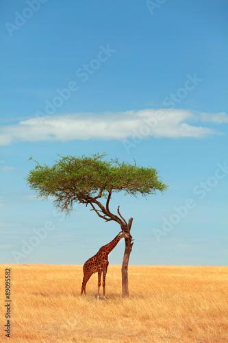 Giraffe in Masai Mara Poster Mural XXL