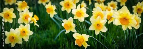 Deurstickers Narcis daffodil