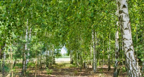 Cadres-photo bureau Bosquet de bouleaux lasek brzozowy