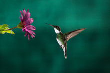 A Little Hummingbird Chassing Its Meal