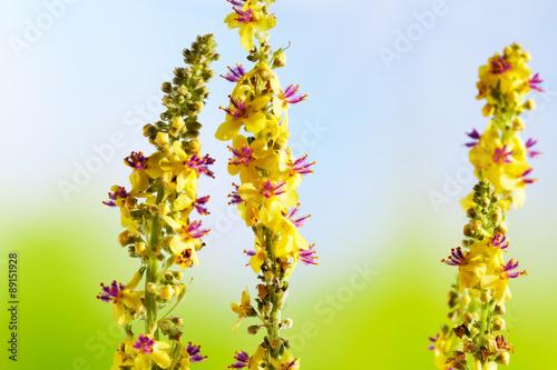 Photo Heilpflanze, Odermenning (Agrimonia eupatoria) Agrimony, Bachbl